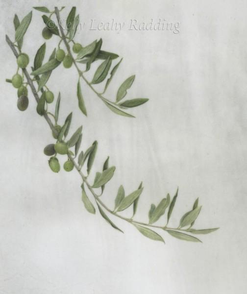 Olea europaea - Olive Branch