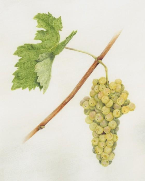 Palmerino Grapes 'Trebbiano'